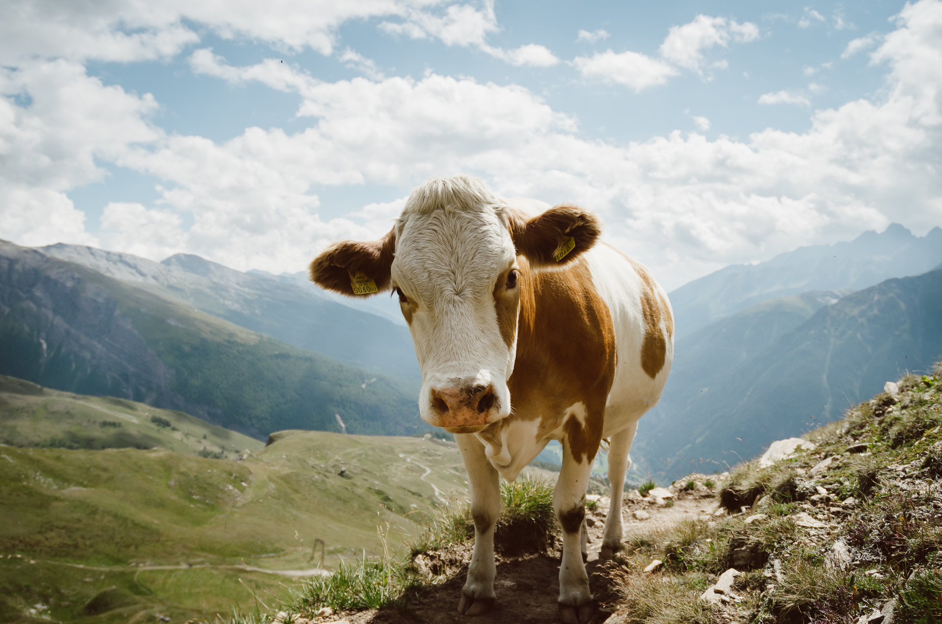 Cow in the Alps near Heiligenblut