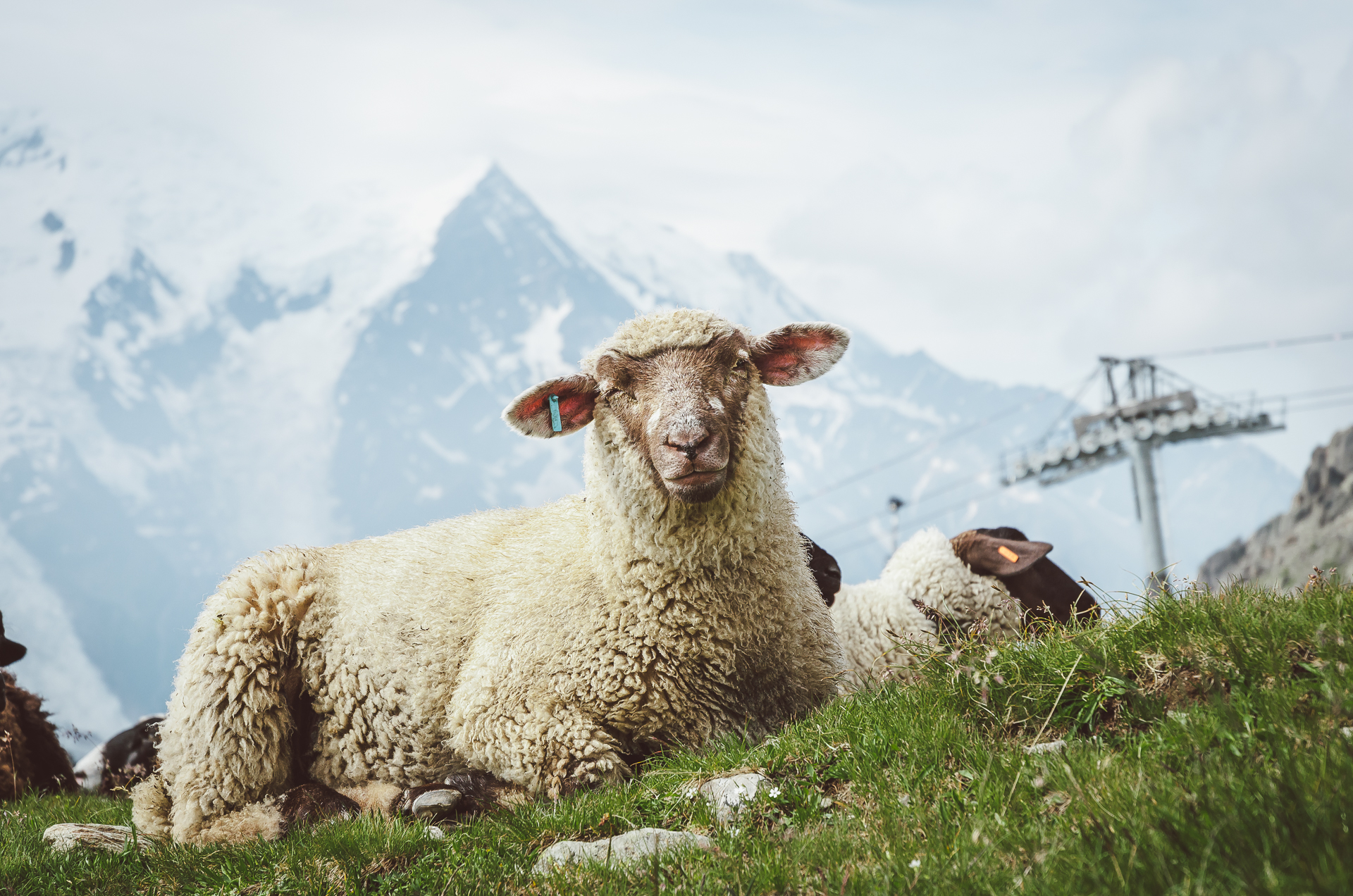 Chamonix, Lac Blanc, Alps, Sheep